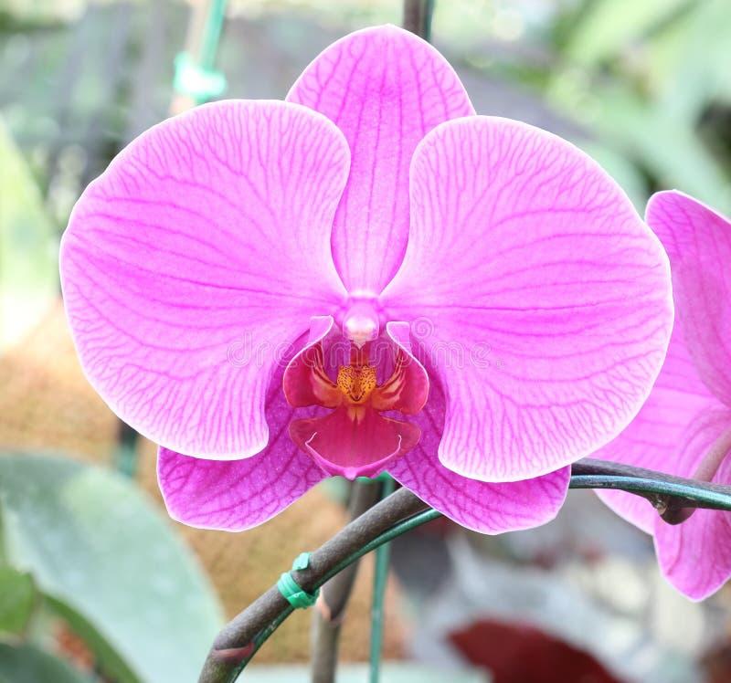 Nahaufnahme der rosafarbenen Orchidee Blumenstrauß von Blumenorchideen lizenzfreie stockbilder