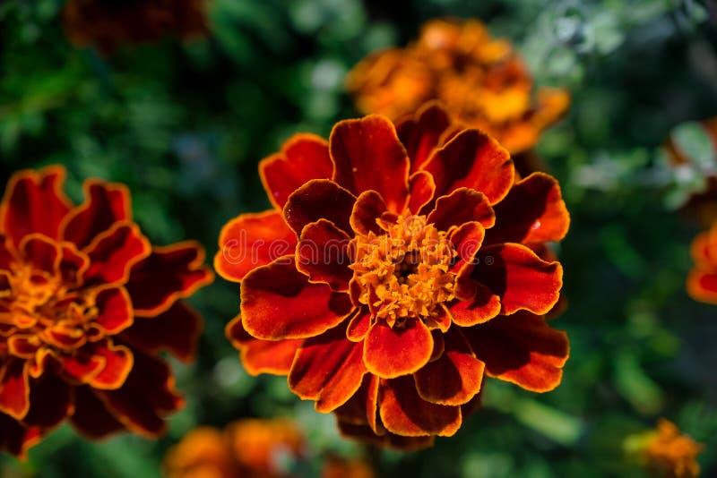 Nahaufnahme der Rot- und Orangenblume lizenzfreie stockbilder