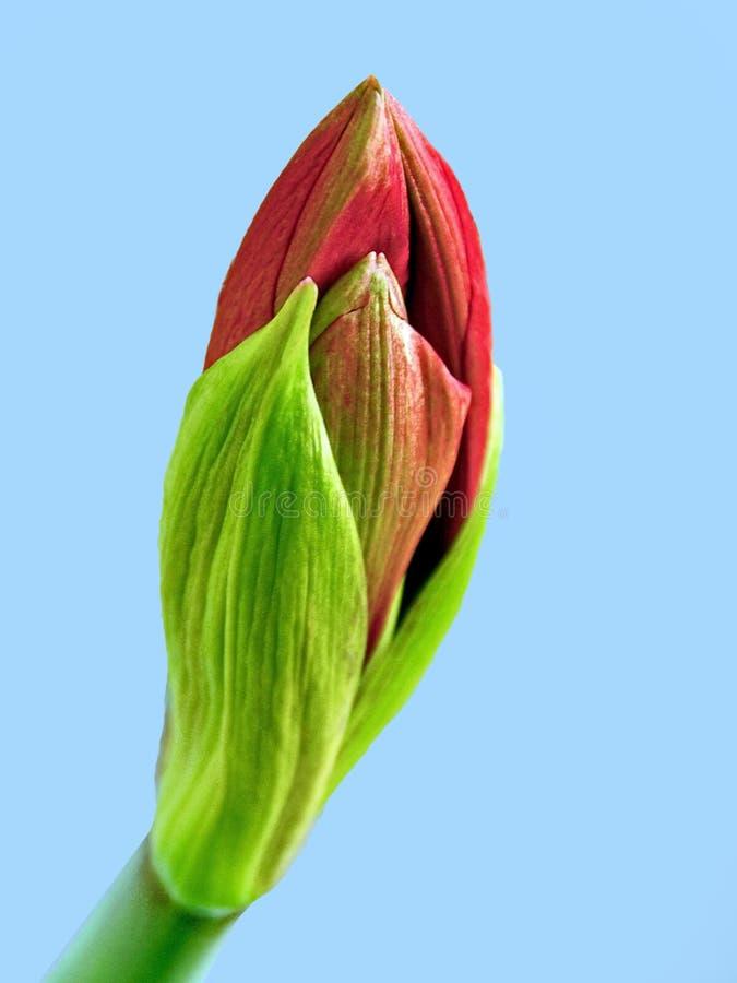 Nahaufnahme der roten Amaryllis im Knochen lizenzfreies stockfoto