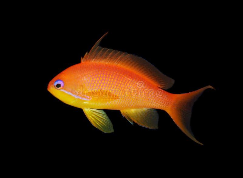 Nahaufnahme der roten Fische getrennt auf schwarzem Hintergrund stockfotos