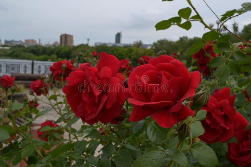 Nahaufnahme der roten Rosen mit grünen Blättern im Stadtpark stockbilder