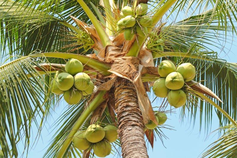 Nahaufnahme der süßen KokosnussPalme mit vielen junge Frucht lizenzfreie stockfotos