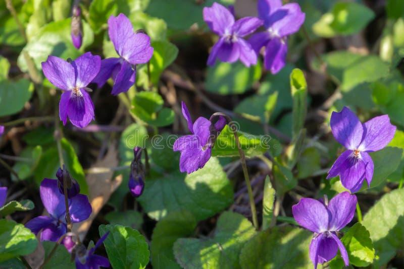 Nahaufnahme der sch?nen hellen violett-blauen wilden Veilchen- oder Waldviola Selektiver Fokus lizenzfreie stockfotos