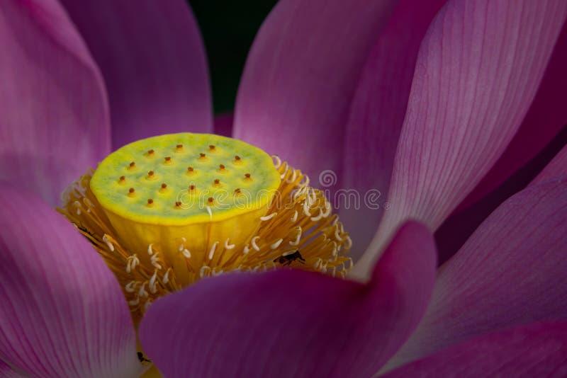 Nahaufnahme der schönen rosa Samenhülse der Vertretung heiliges Lotus-Blume blühenden gelben lizenzfreies stockbild