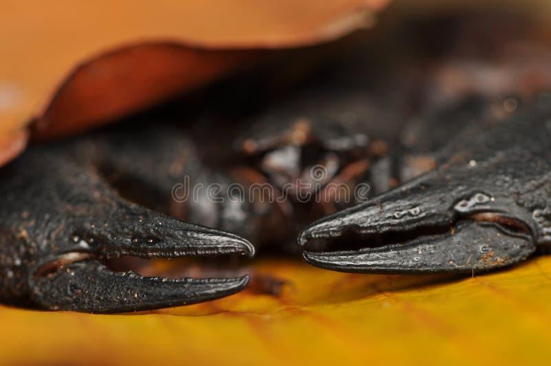 Nahaufnahme der Scheren eines panamaischen Skorpions, Opistacanthus-elatus stockbilder