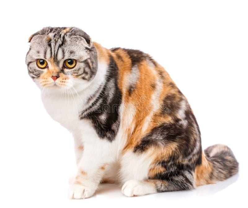 Nahaufnahme der schottischen Faltenkatze auf einem weißen Hintergrund stockfoto