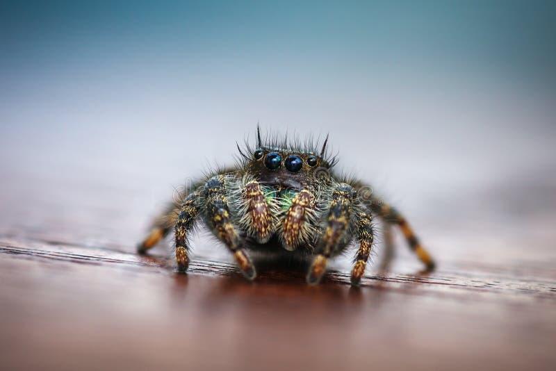Nahaufnahme der springenden Spinne stockfoto