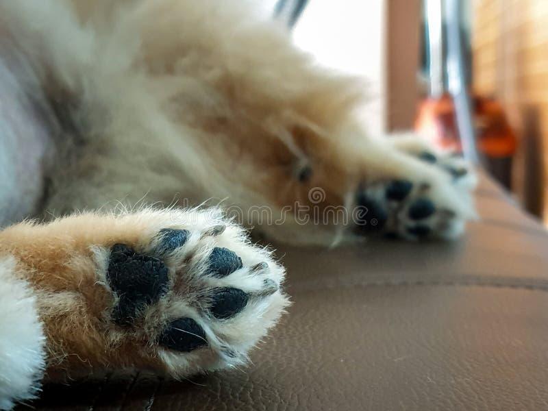 Nahaufnahme der Tatzen faules Pomeranian des Hundes, das mit Rückseite auf Bett legt stockfotografie