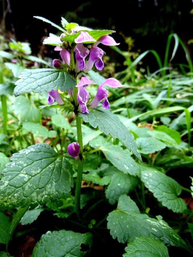 Nahaufnahme der toten Nessel in der rosa Blüte über Grün verwischte Hintergrund lizenzfreie stockfotografie