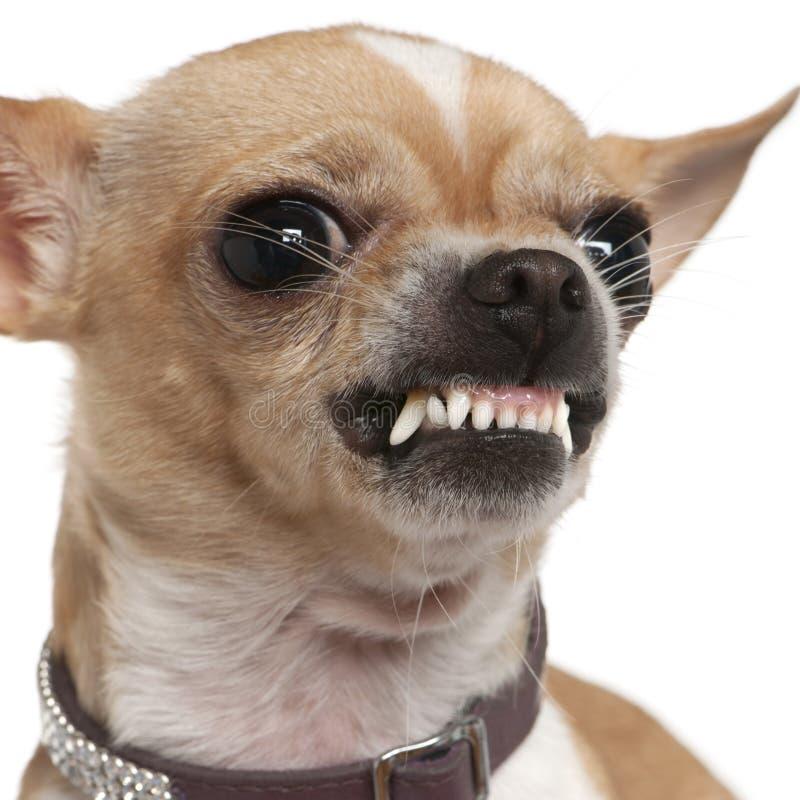 Nahaufnahme der verärgerten Chihuahua knurrend, 2 Jahre alt lizenzfreie stockbilder