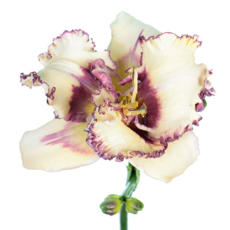 Nahaufnahme der weißen Blume Daylily Hemerocallis lokalisiert auf weißem Hintergrund stockfotos