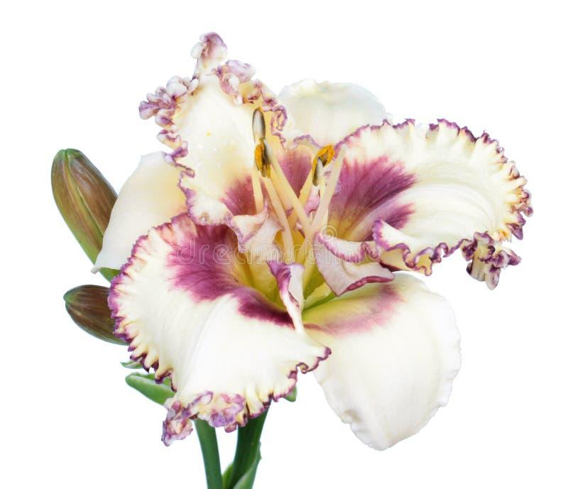 Nahaufnahme der weißen Blume Daylily Hemerocallis lokalisiert auf weißem Hintergrund lizenzfreie stockfotos