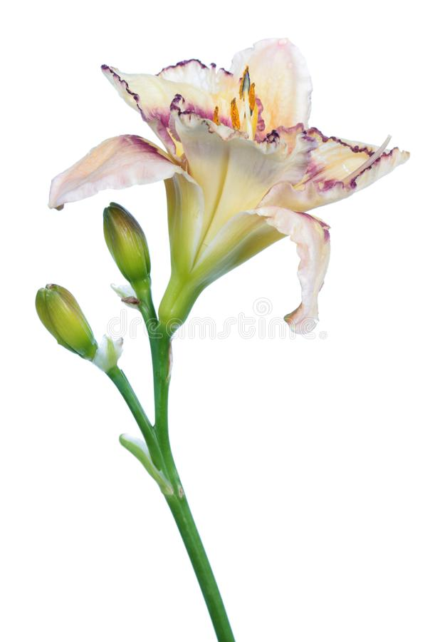 Nahaufnahme der weißen Blume Daylily Hemerocallis lokalisiert auf weißem Hintergrund stockfoto