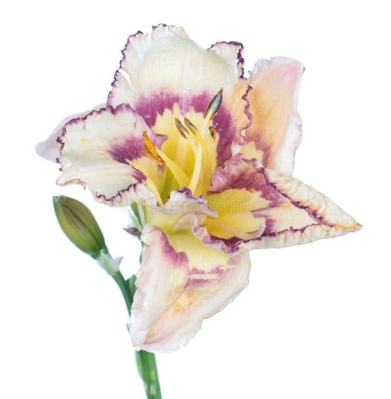 Nahaufnahme der weißen Blume Daylily Hemerocallis lokalisiert auf weißem Hintergrund stockfotografie