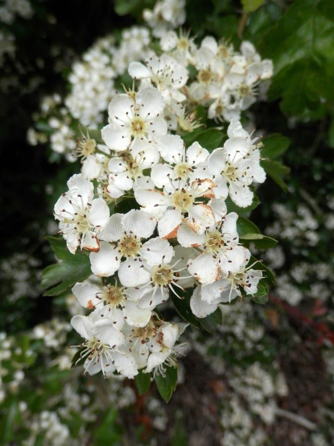 Nahaufnahme der weißen Weißdornblume lizenzfreie stockbilder
