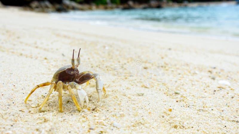 Nahaufnahme der Wind-Krabbe auf dem Sand lizenzfreie stockfotos