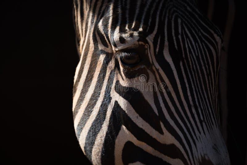Nahaufnahme des anziehenden Sonnenlichts des Grevy-Zebra-Kopfes lizenzfreies stockbild