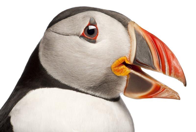 Nahaufnahme des atlantischen Papageientauchers oder des gemeinen Papageientauchers, Fratercula arctica lizenzfreie stockfotografie