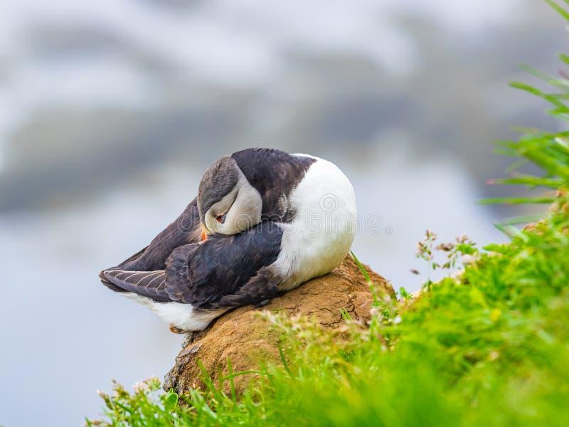 Nahaufnahme des atlantischen Papageientauchers stillstehend auf einem Felsen stockbilder