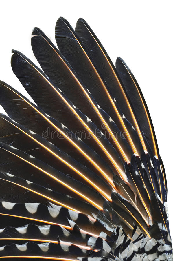 Nahaufnahme des Aufflackernvogel-Oberlederflügels lizenzfreie stockfotos