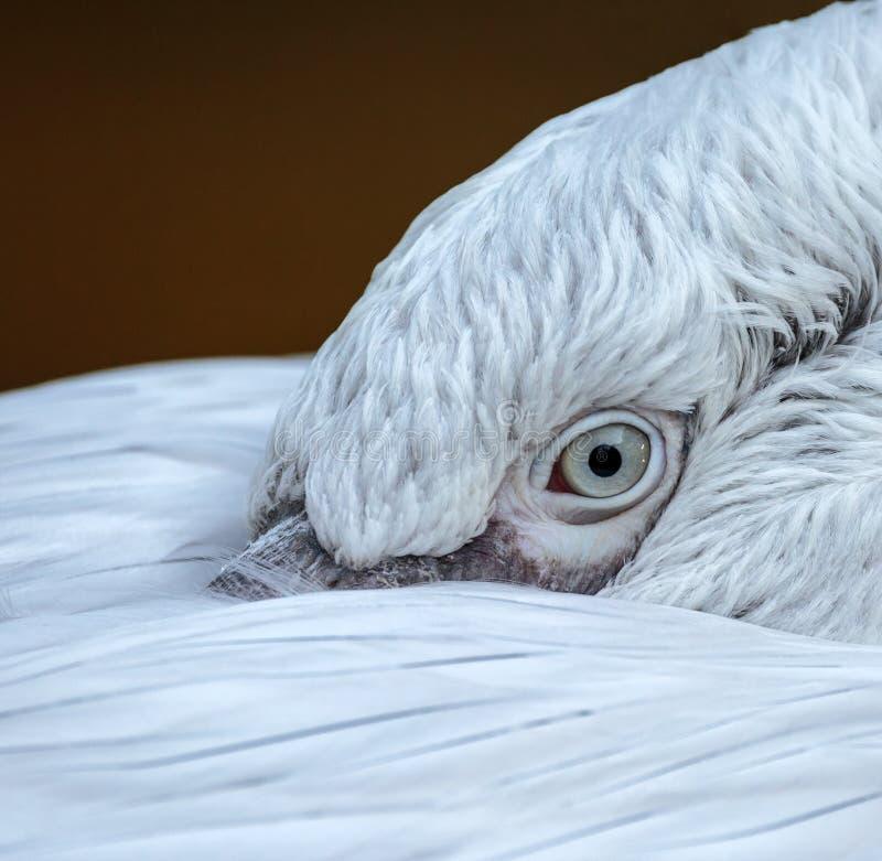 Nahaufnahme des Auges eines Pelikans lizenzfreies stockfoto
