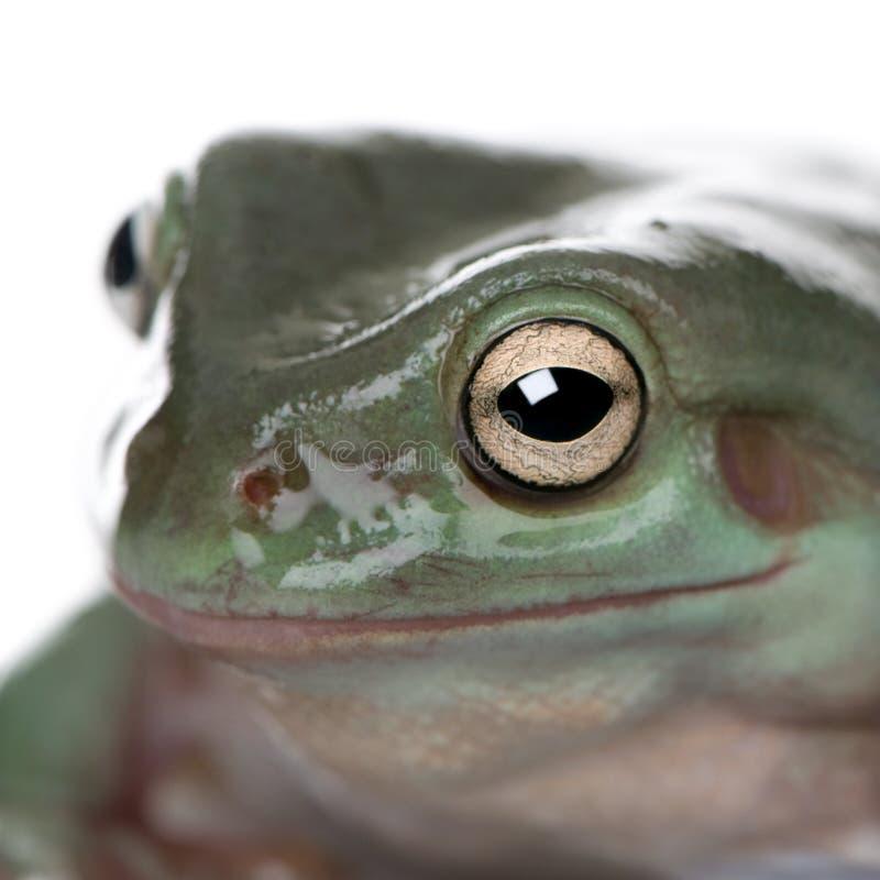 Nahaufnahme des australischen grünen Baum-Frosches stockfotografie