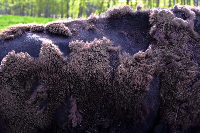 Nahaufnahme des Bisons hinter, sie verschüttend ` s Wintermantel stockbilder