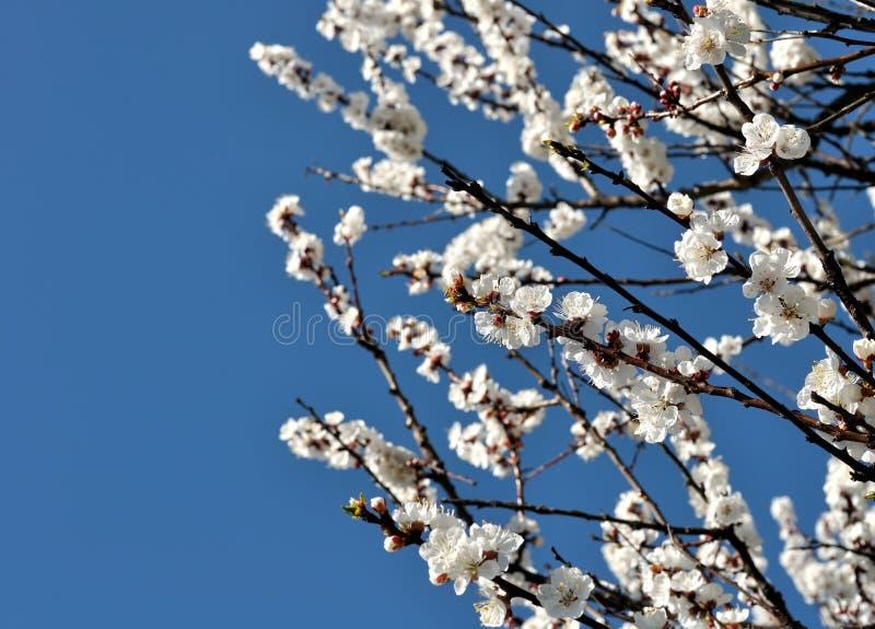 Nahaufnahme des blühenden Aprikosenbaums lizenzfreie stockfotos