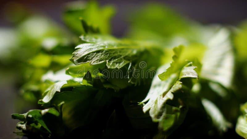 Nahaufnahme des Blattes des Salats Gesamtl?nge auf Lager Nahaufnahme des gr?nen Kopfsalates Neues grünes Kopfsalatsalatmakro lizenzfreies stockbild