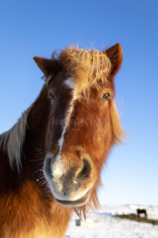 Nahaufnahme des braunen isländischen Pferds im Schnee lizenzfreie stockfotos
