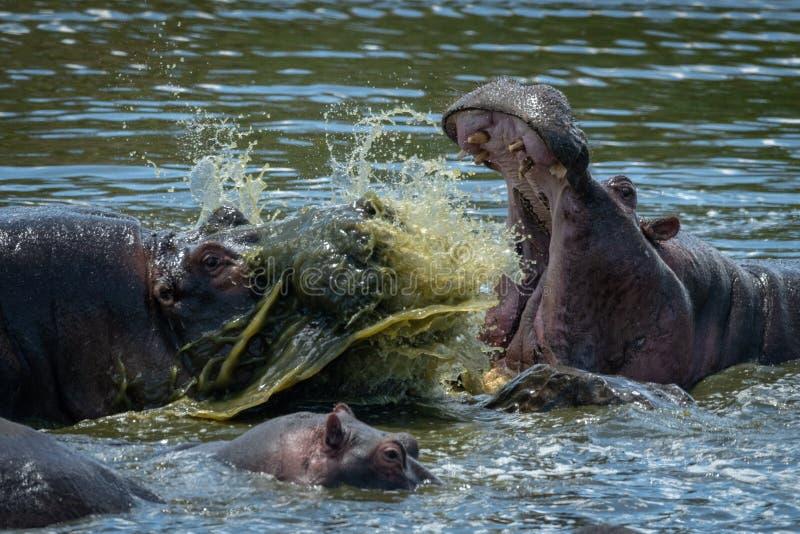 Nahaufnahme des Flusspferds zwei, das im Fluss kämpft lizenzfreies stockfoto