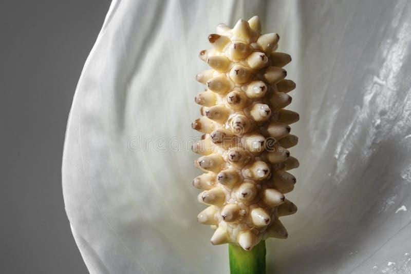 Nahaufnahme des Friedenslilien-Blumenstaubgefässes lizenzfreie stockfotos