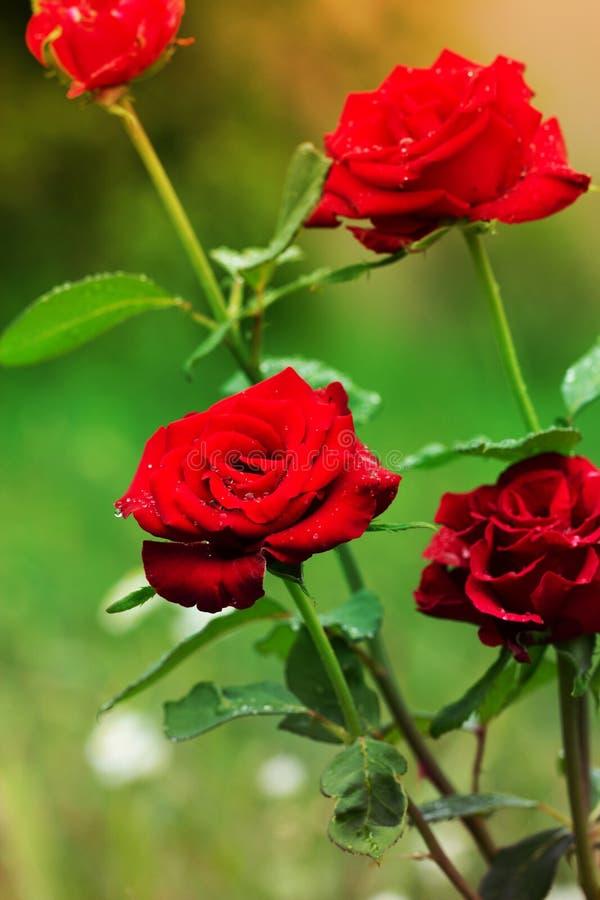 Nahaufnahme des Gartens stieg Rote Rosen mit Wassertropfen lizenzfreies stockbild