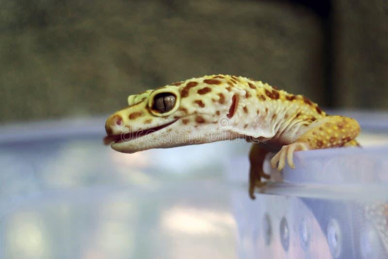 Nahaufnahme des gelben Geckos haften heraus ihre Zunge lizenzfreie stockfotos