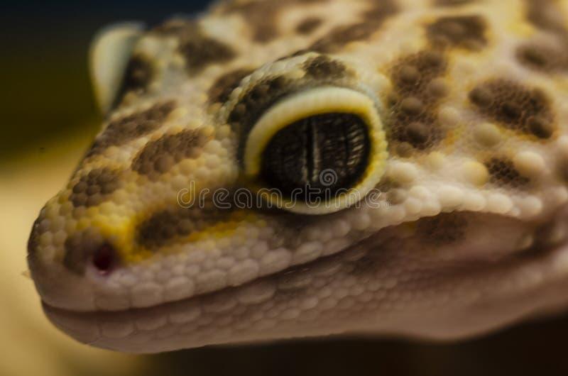 Nahaufnahme des Gesichtes eines eublephar Haustieres des Leopardgeckos mit einem weichen unscharfen Hintergrund stockfoto