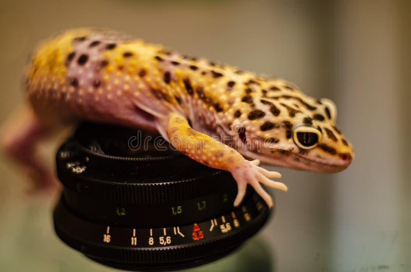 Nahaufnahme des Gesichtes eines eublephar Haustieres des Leopardgeckos mit einem weichen unscharfen Hintergrund stockfotografie