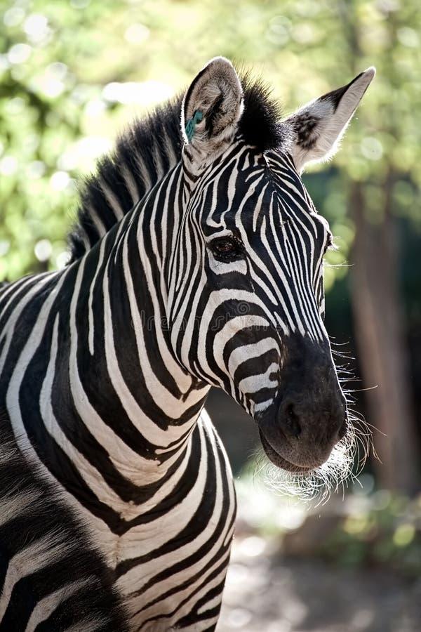 Nahaufnahme des gestreiften Zebra stockfoto