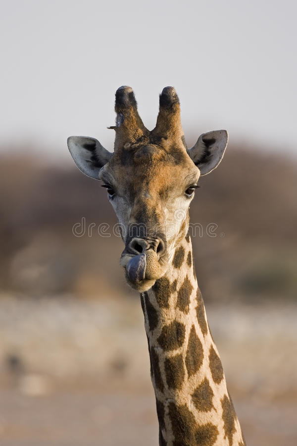 Nahaufnahme des Giraffekopfes und -stutzens lizenzfreie stockbilder