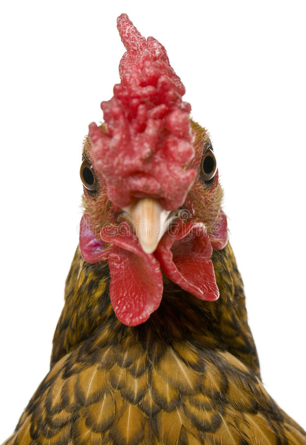Nahaufnahme des goldenen Sebright Hahns, 1 Einjahres stockfotografie