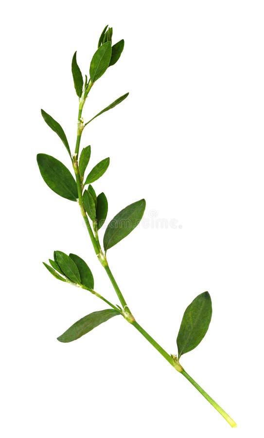 Nahaufnahme des grünen Grases mit kleinen Blättern lizenzfreie stockfotografie