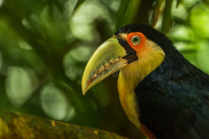 Nahaufnahme des grün-berechneten Tukans, das entlang der Kamera anstarrt stockfotos