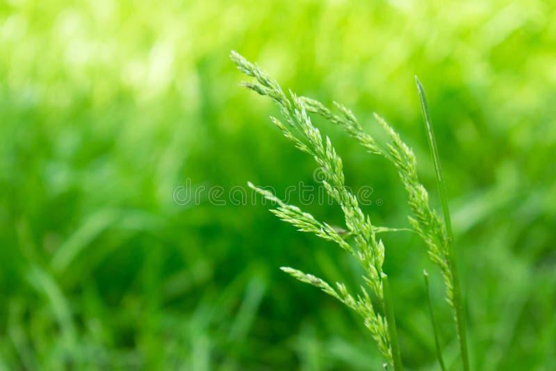 Nahaufnahme des grünen Grases, Ährchen des Grases auf einem unscharfen Hintergrund Heller Farbgrashintergrund stockfotografie