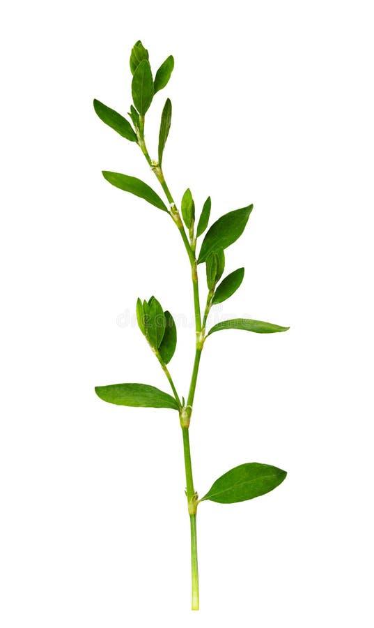 Nahaufnahme des grünen Grases mit kleinen Blättern lizenzfreie stockbilder