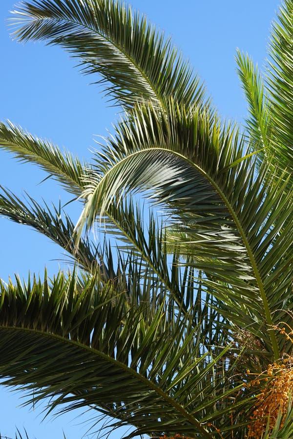 Nahaufnahme des grünen plam verlässt gegen blus Himmel lizenzfreie stockbilder