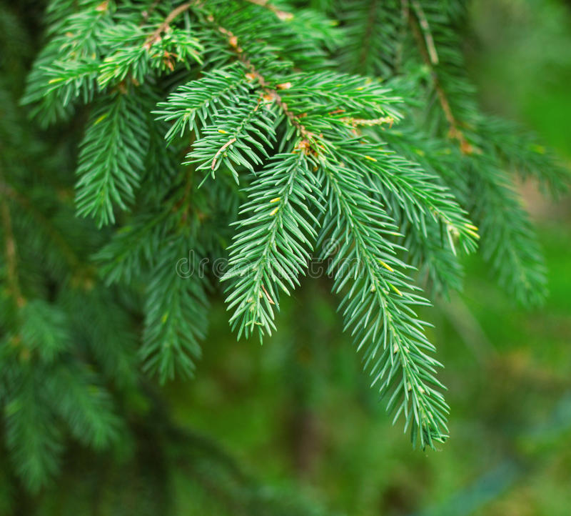 Nahaufnahme des grünen Tannenbaums oder -kiefer verzweigt sich stockbild