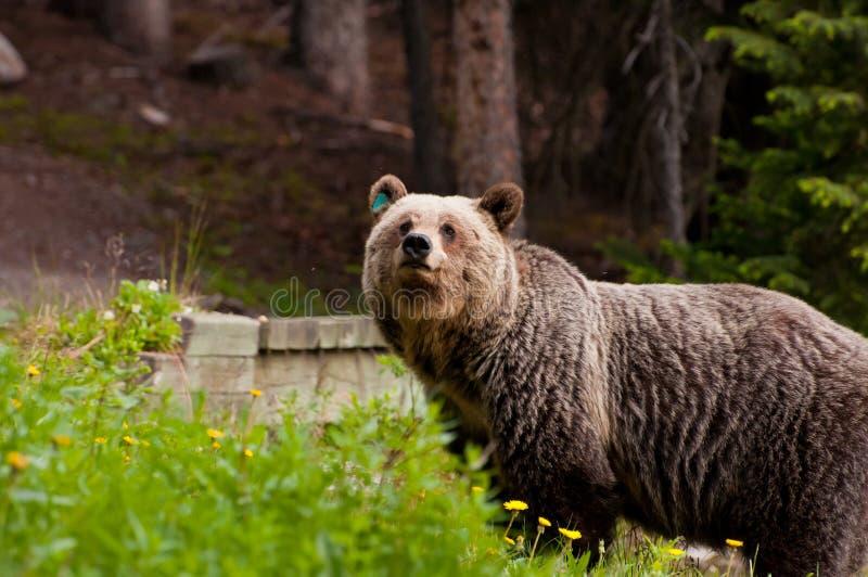 Nahaufnahme des Graubärbären stockbild