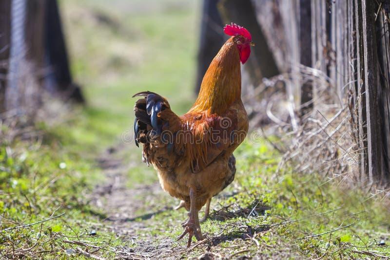 Nahaufnahme des großen schönen roten wohlgenährten stolz schützenden Hahns lizenzfreie stockfotos