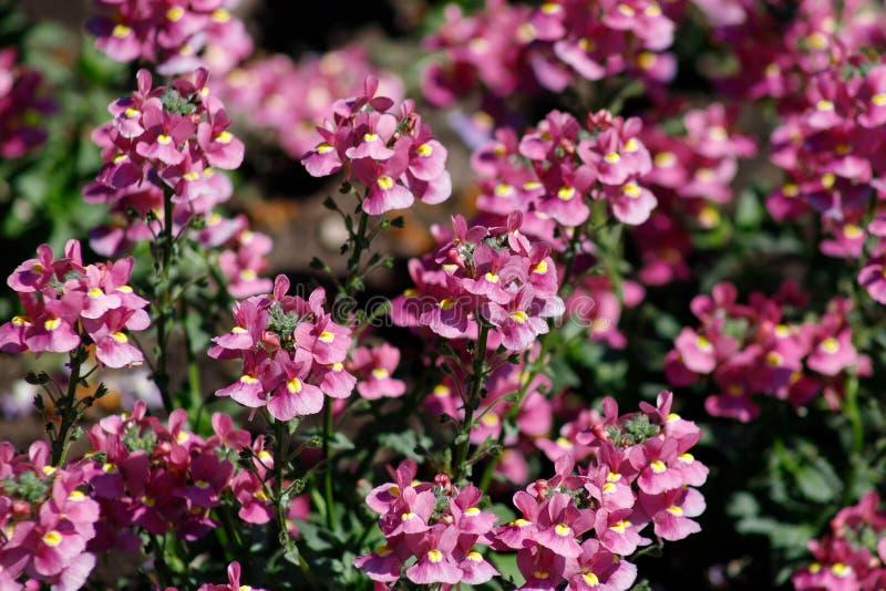 Nahaufnahme des Heilpflanzesalbeis oder des Salvia-Gartens - Vielzahl des schönen Rosas mit einer gelben Mitte stockfotos