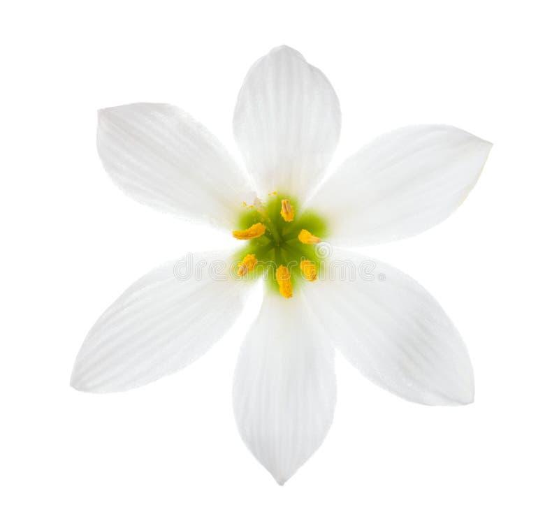 Nahaufnahme des Herbstes der weißen Lilie zephyrlily lokalisiert auf einem weißen Hintergrund zephyranthes Candida stockfotos