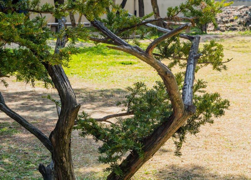 Nahaufnahme des immergrünen Baums in der großen Wiese lizenzfreie stockbilder